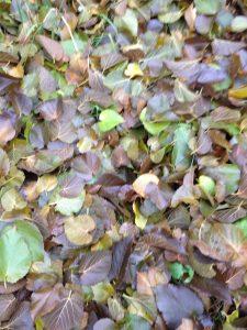 moerbei blad is in de herfst ook mooi